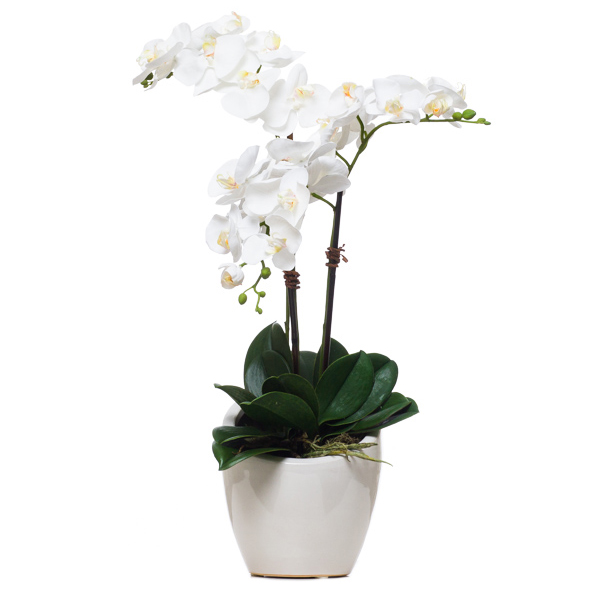 Triple Phalaenopsis in White Slant Pot
