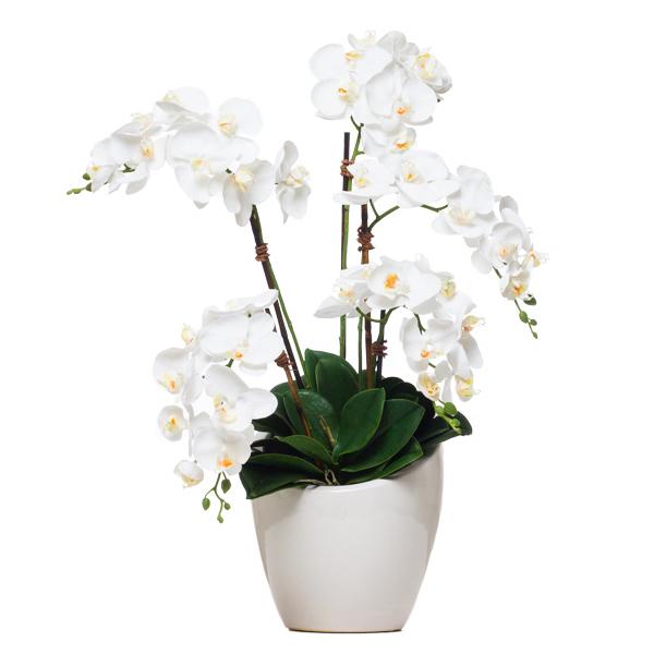 Phalaenopsis in Lg. Slant Pot