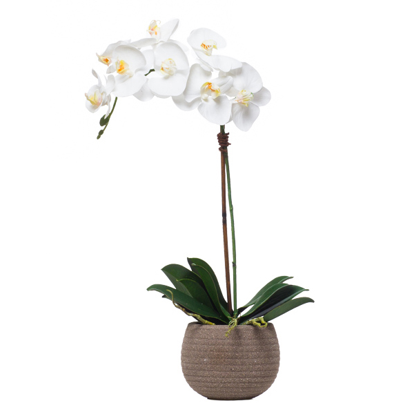 Single Phalaenopsis in Sand Pot