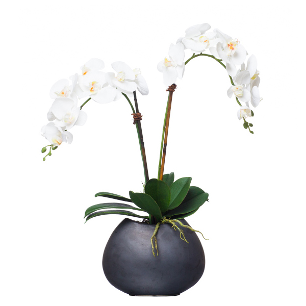 Double Phalaenopsis in Black Oval Bowl