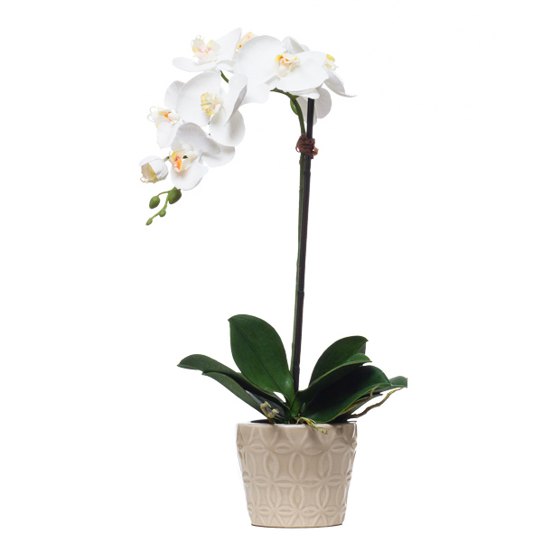 Single White Phalaenopsis in Grey Pot