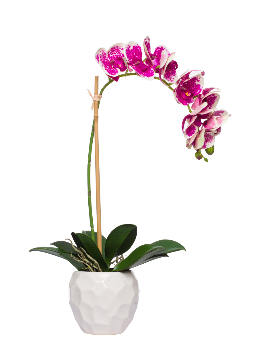 Fuschia / Cream Phal Single in White Chipped Pot