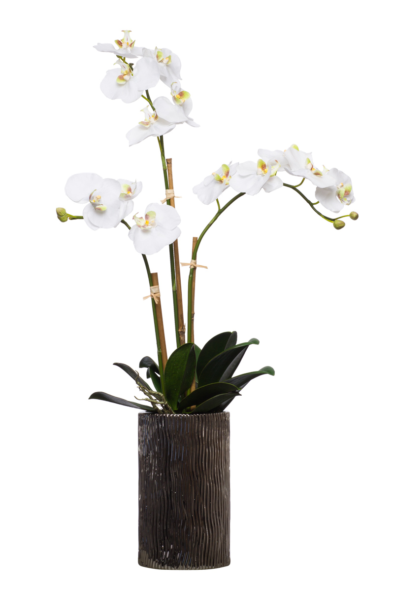 White Triple Phal in Tall Silver Cylinder