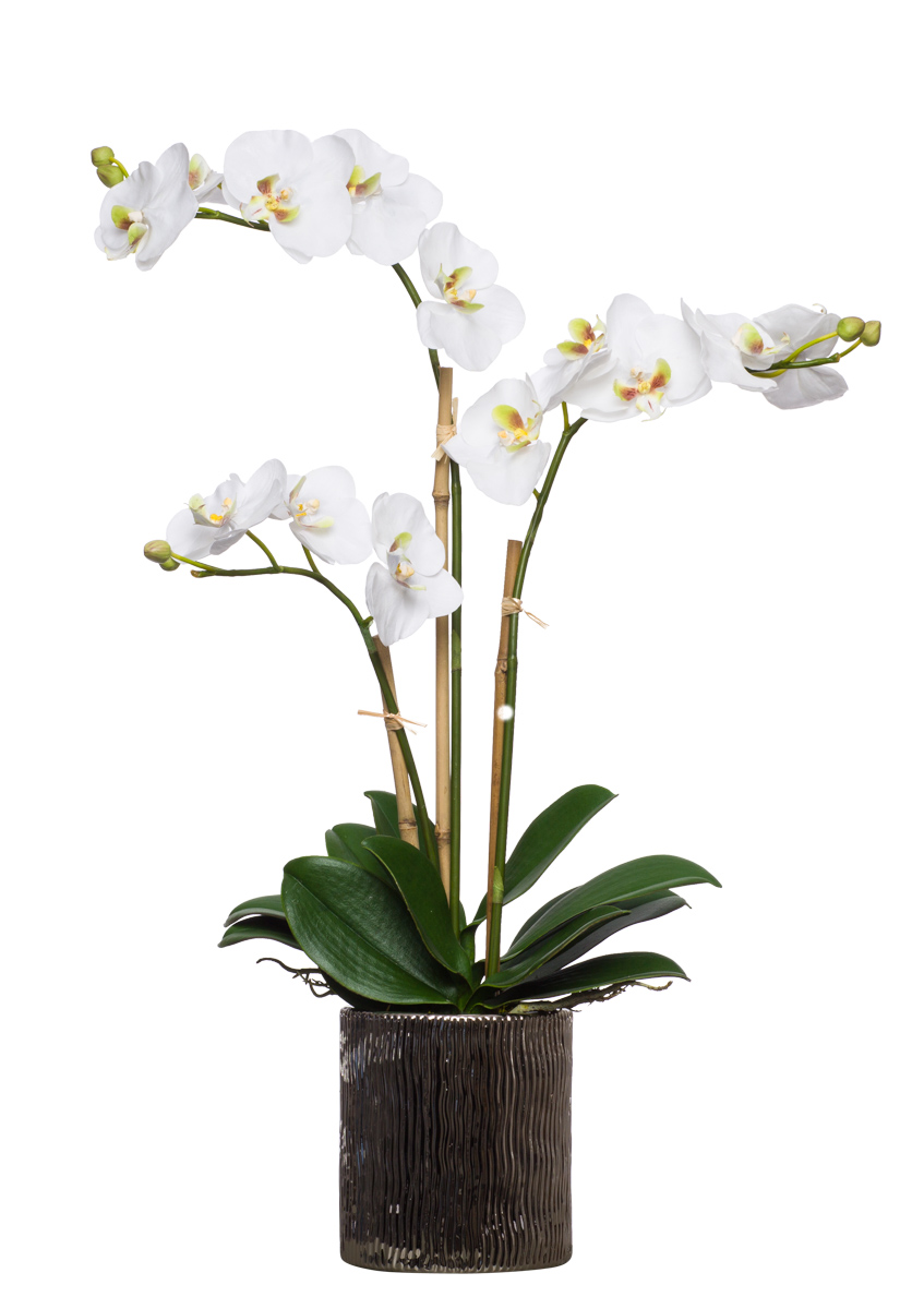 White Triple Phal in Small Silver Cylinder
