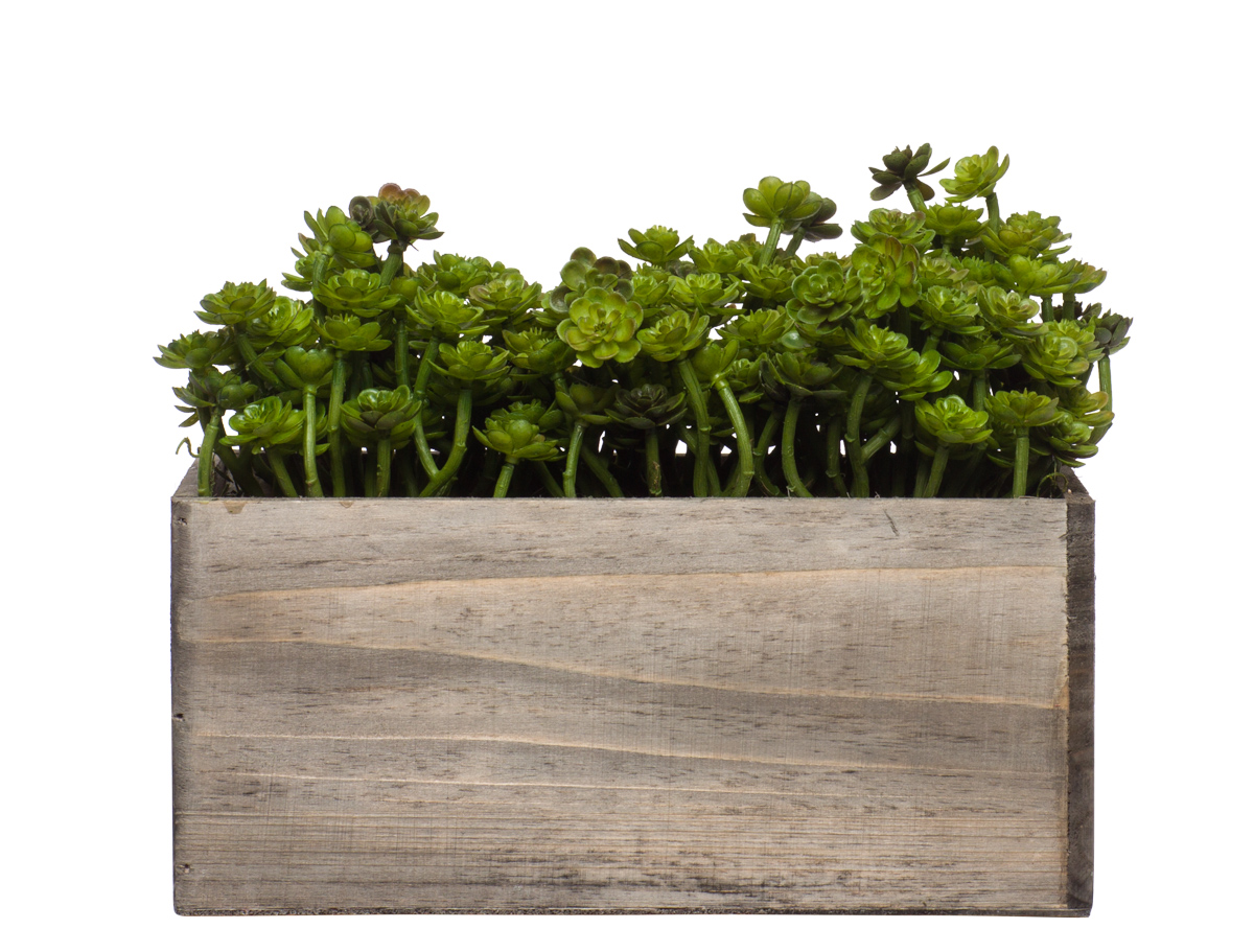 Wall Hanging Mini Echevaria in Small Wood Box