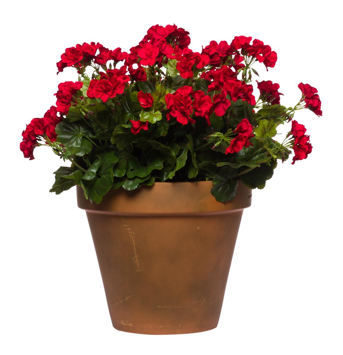 Red Geranium Pot   -  UV