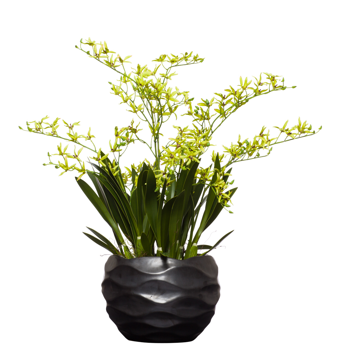 Green Dendrobiums in Large Black Wavy Pot