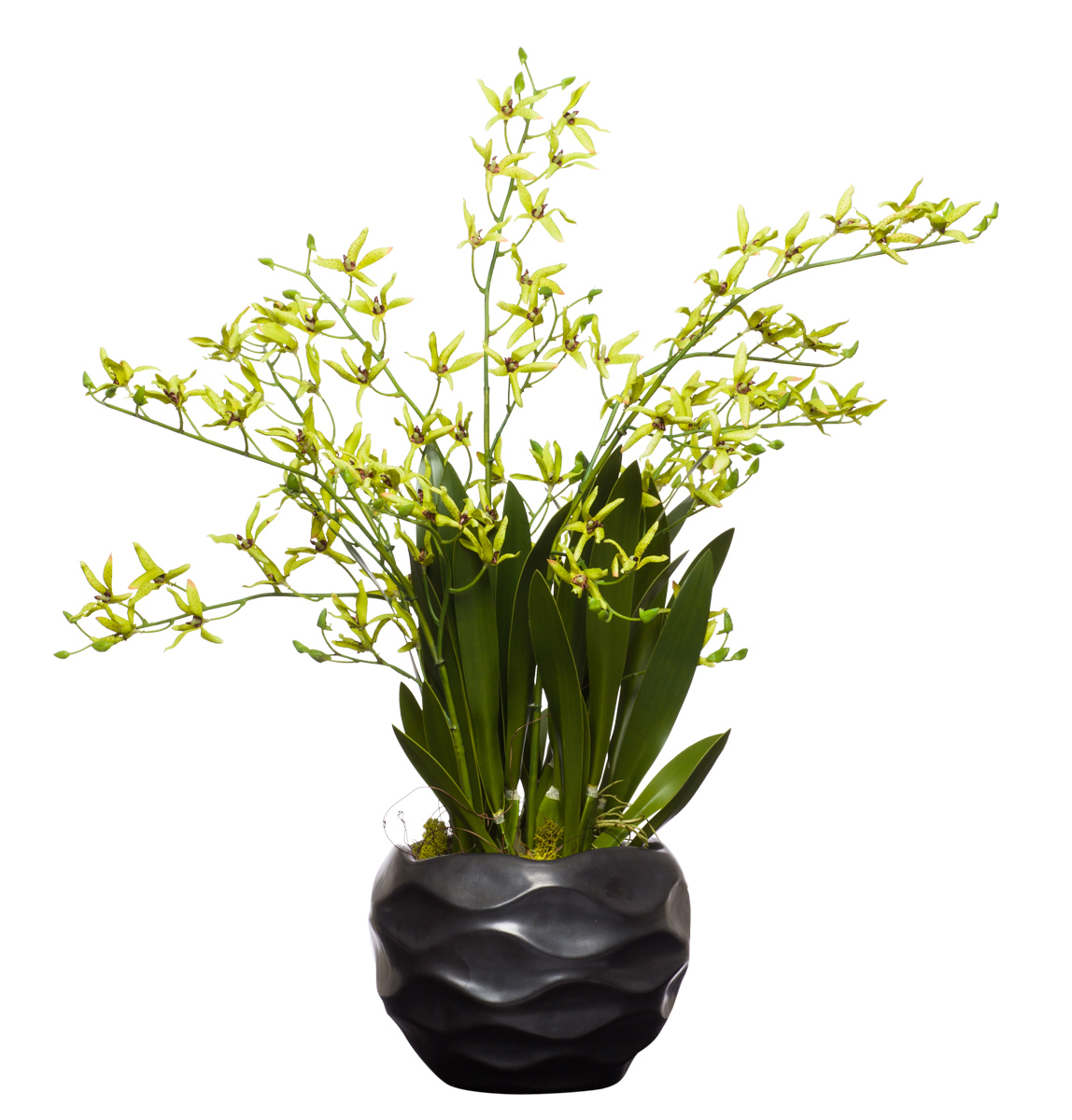 Green Drendrobiums in Small Black Wavy Pot