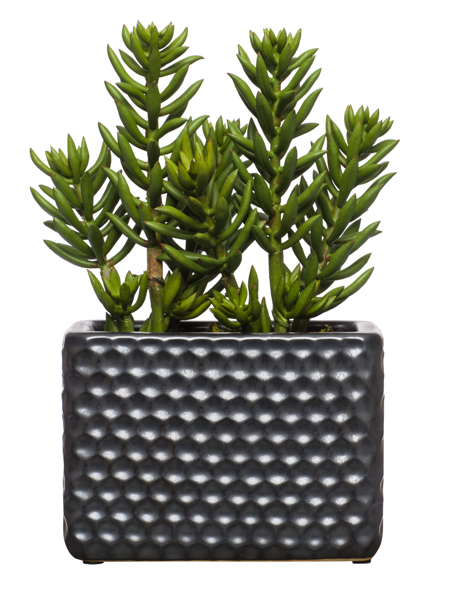 Sedum in Black Large Honeycomb Planter