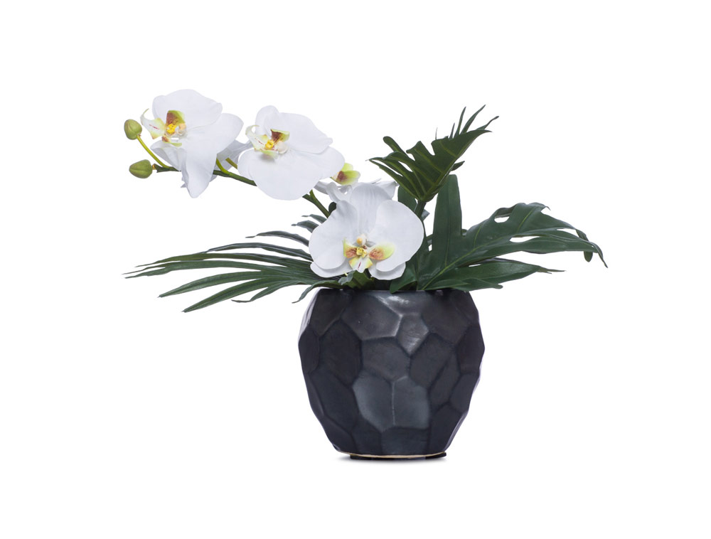 White Phal in Black Pot