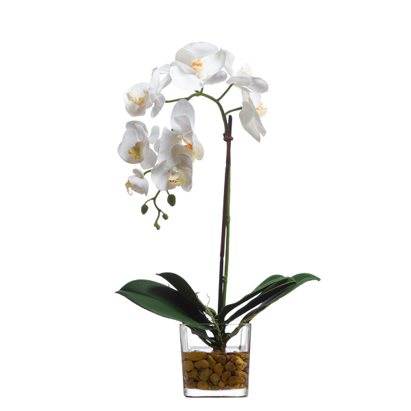 White Phalaenopsis Waterlike