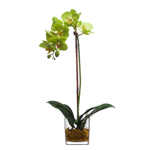 Green Phalaenopsis Waterlike