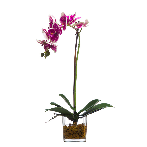 Cream/Fuchsia Phalaenopsis Waterlike