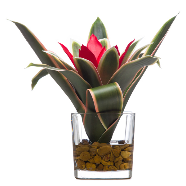 Bromeliad Waterlike