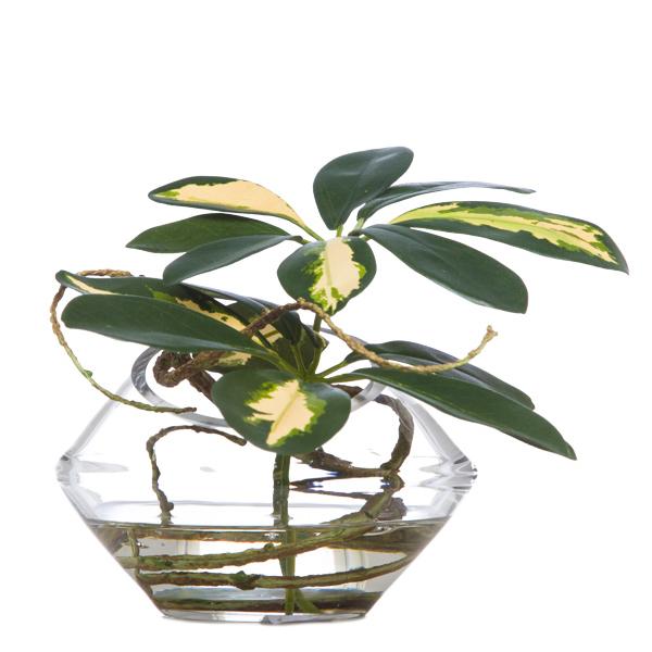 Scheffelera in Slant Angle Vase Waterlike