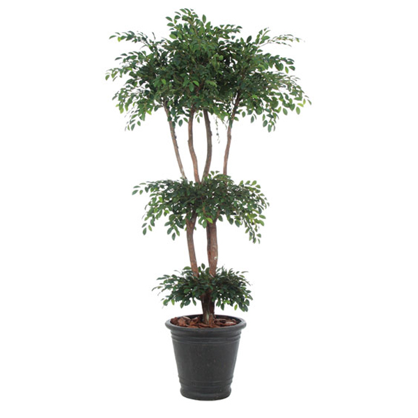 7.5-ft. Ladder Ruscus in Basket