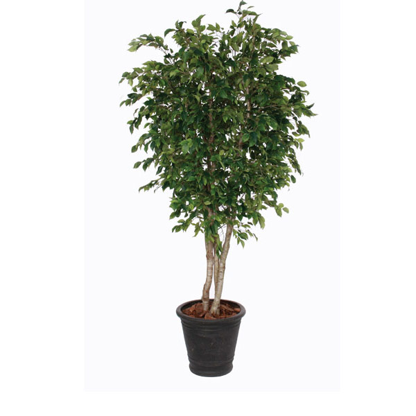 8-ft. Overland Park Ficus in Basket