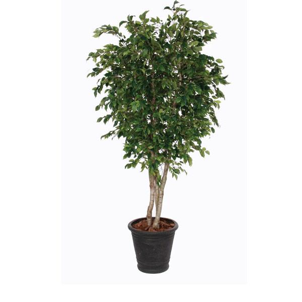 8-ft. Overland Park Ficus in Basket