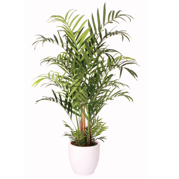 7' Double Kentia Palm in a Basket