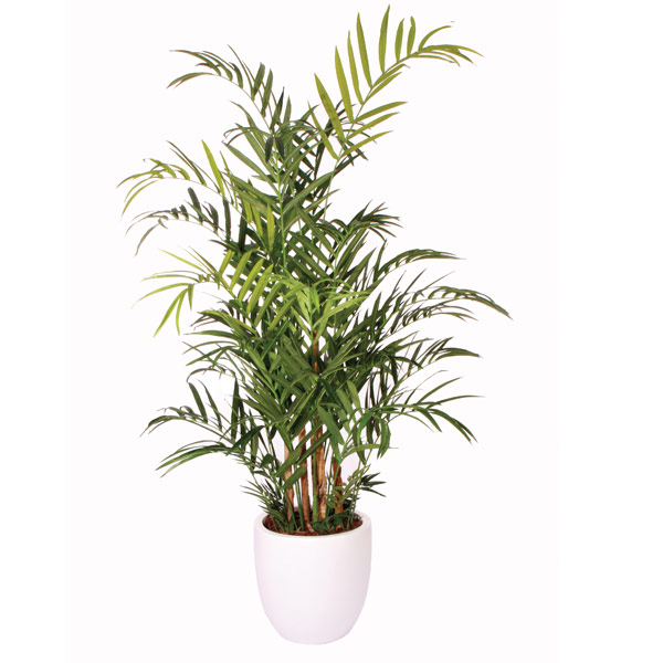 8' Double Kentia Palm in a Basket