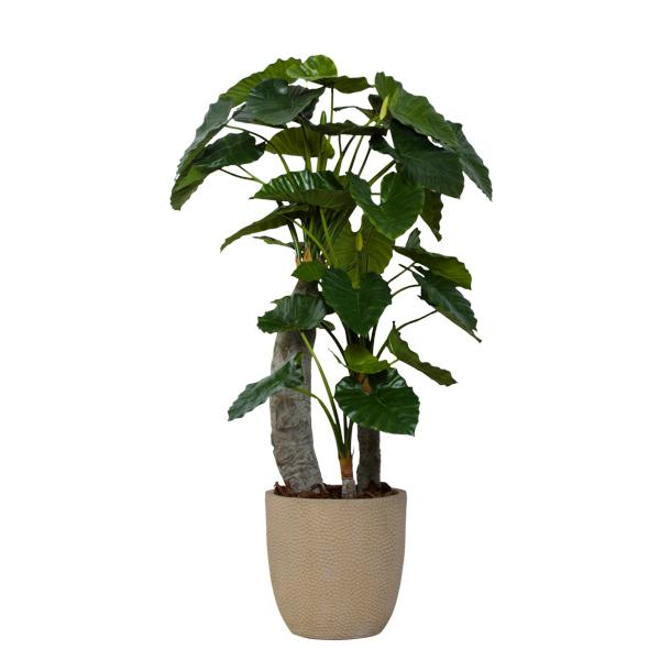 Triple Alocasia Tree in Basket