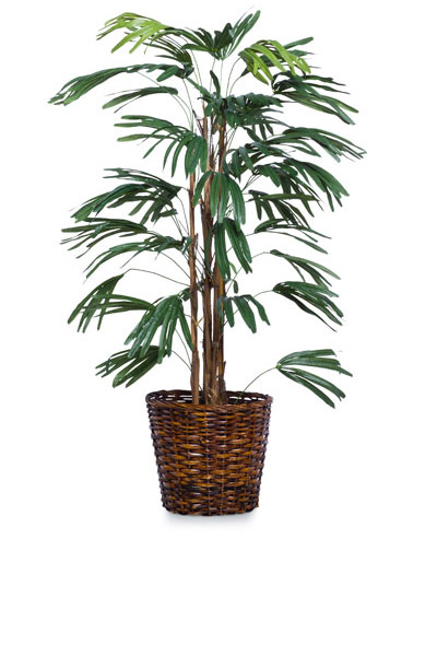 5' RAPHIS PALM/BASKET