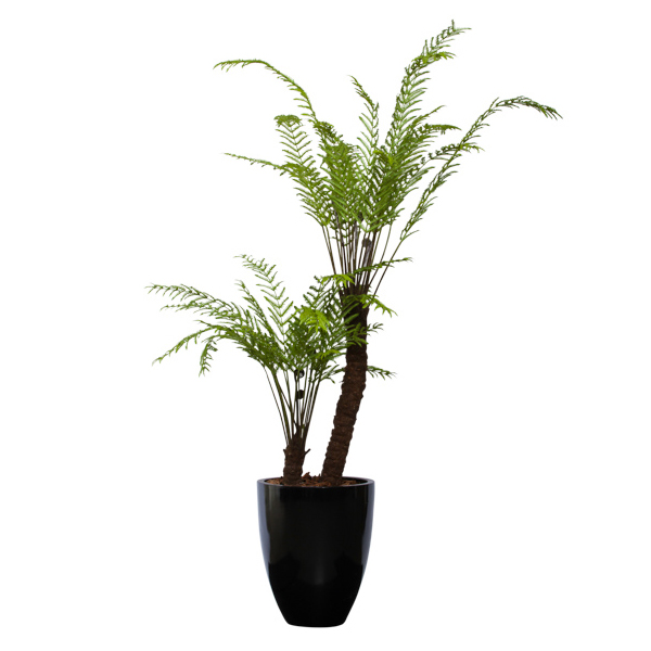 Tree Fern in Black Pot - OUT of STOCK