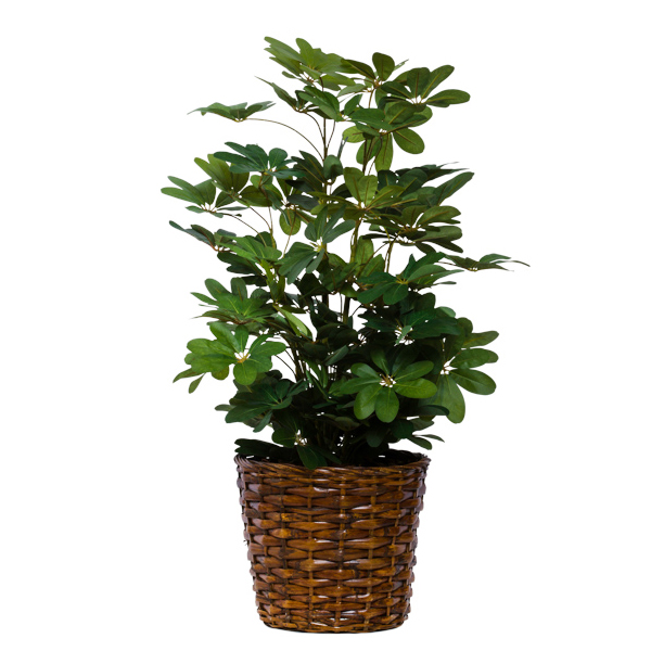 Mini Scheffelera in Basket