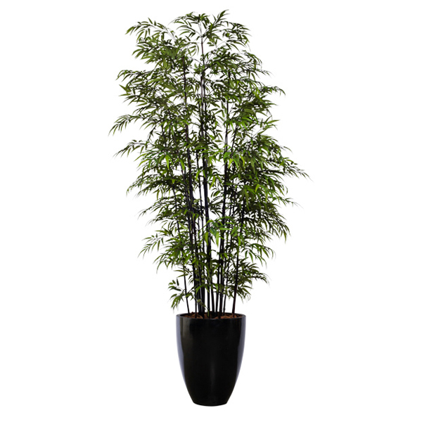 Double Black Bamboo in Tall Shiny Black Pot
