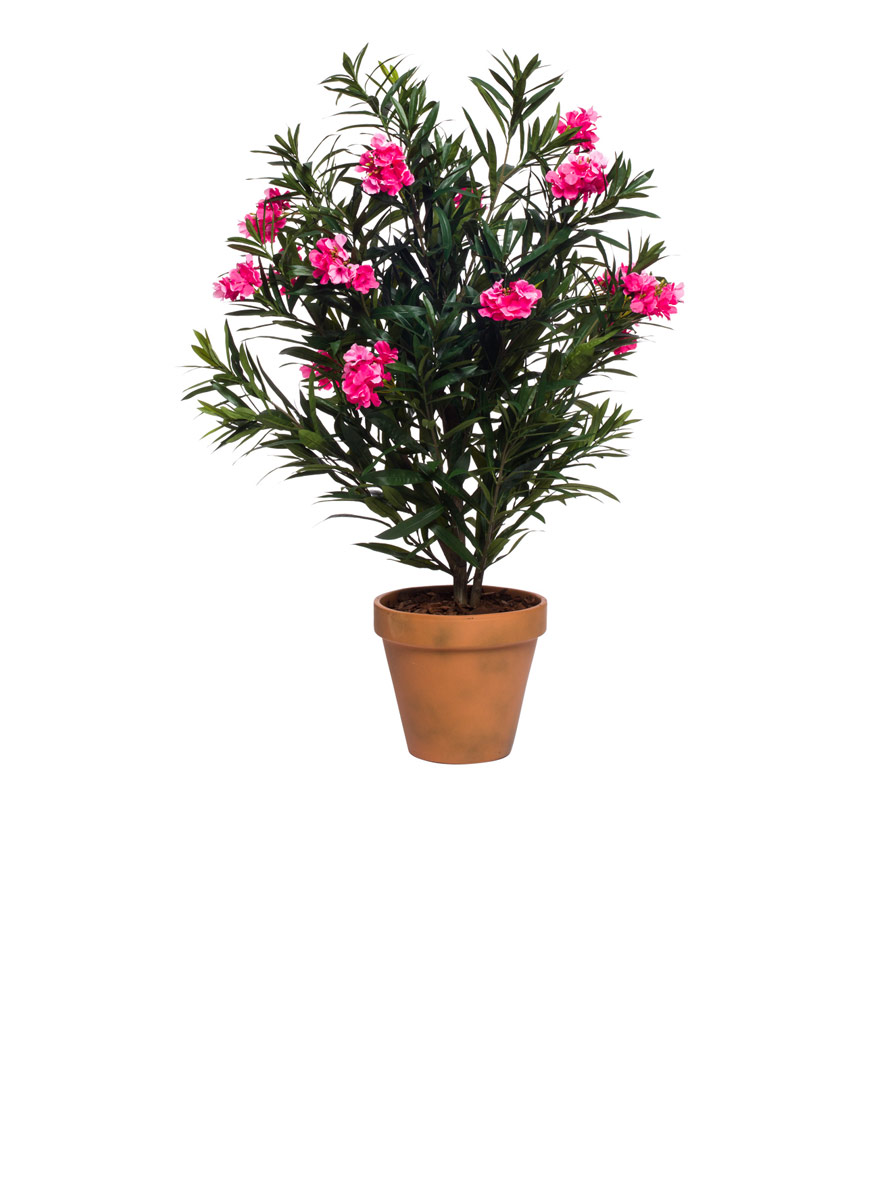 OLEANDER IN TERRA COTTA POT