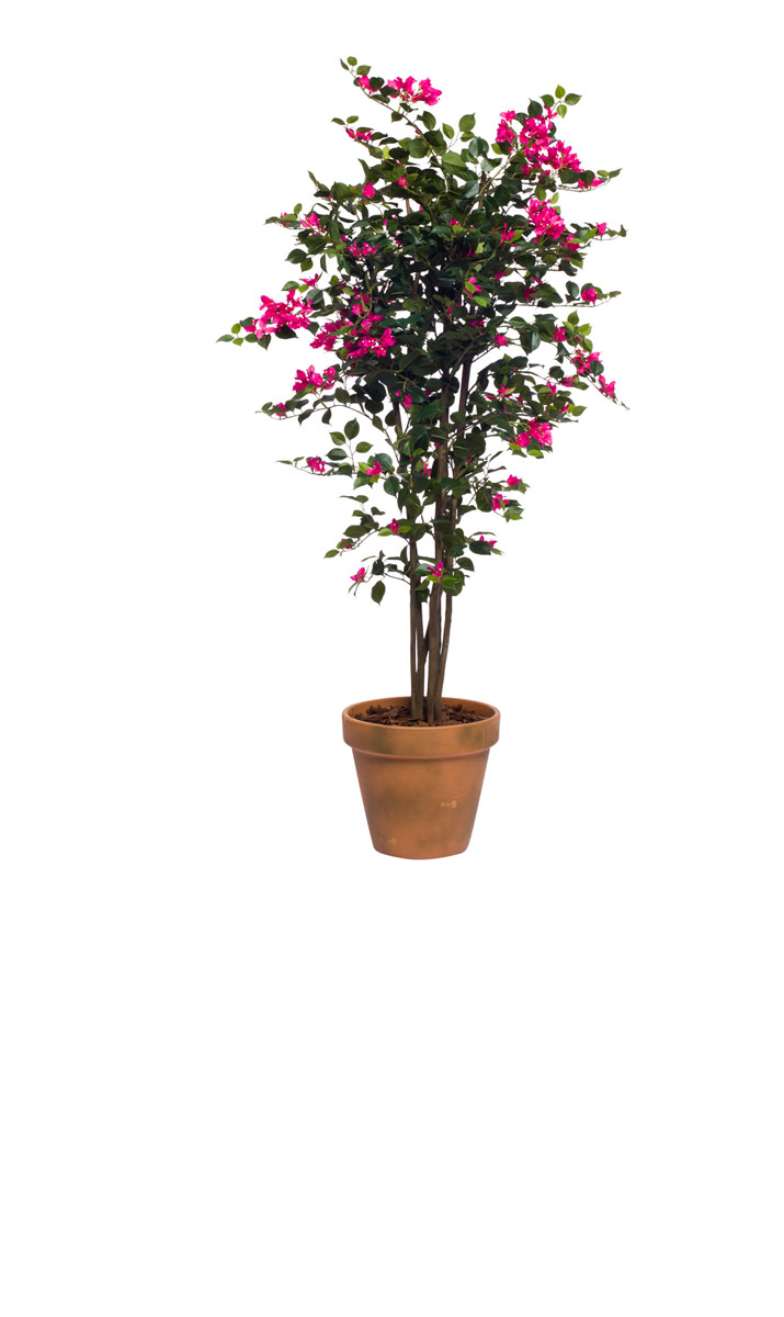PINK BOUGANVILLEA IN TERRA COTTA POT