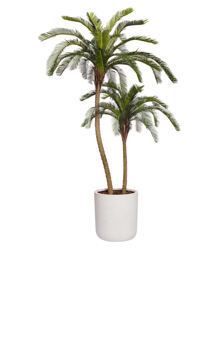 UV - 7.5' CYCAS PALM X 2 in a BASKET
