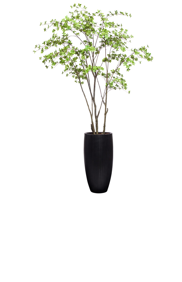 GREEN ASIAN BIRCH IN BLACK POT