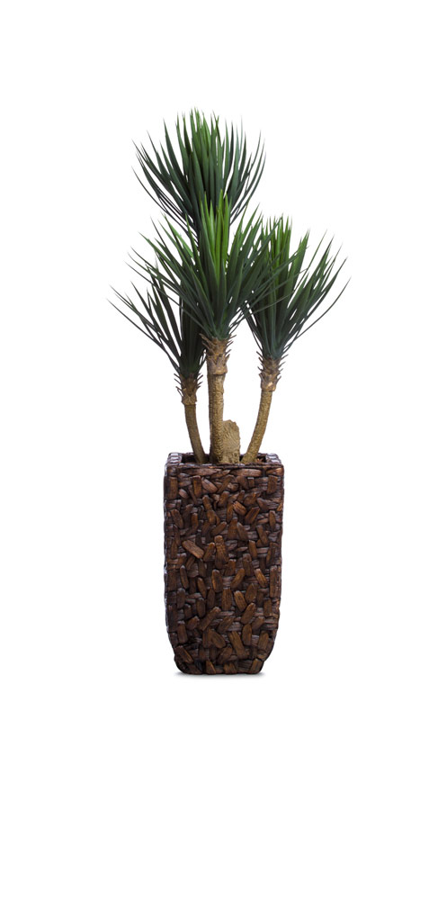 BABY YUCCA IN BAC BAC