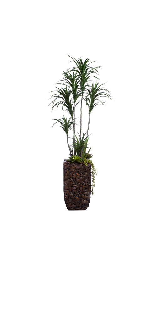 DRACENA COMBINATION IN BAC BAC