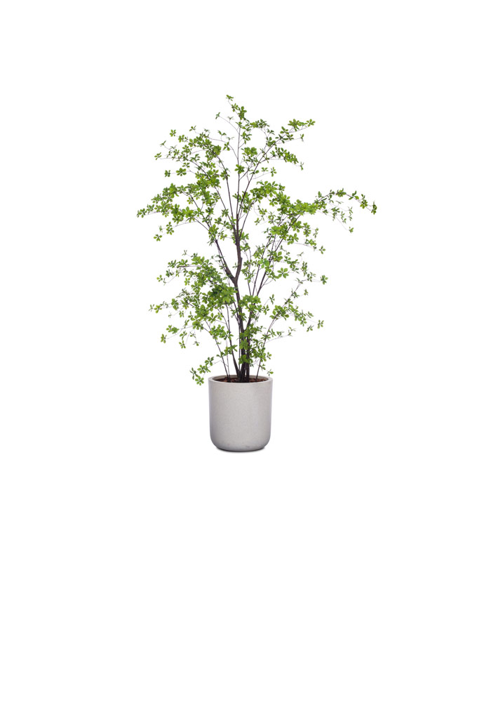 GREEN ASIAN BIRCH/BASKET