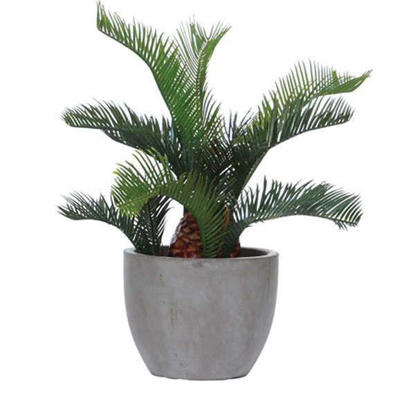 Cycas in Rock Pot
