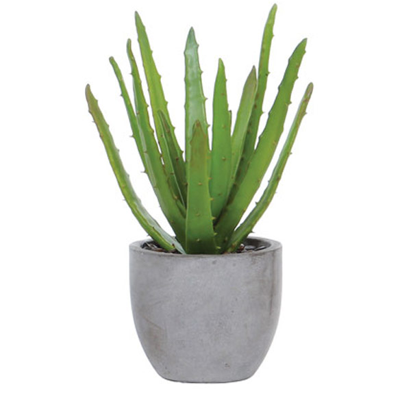 Aloe in Rock Pot