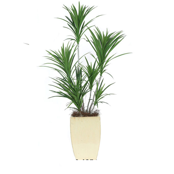 Single Dracena Pot in a Small Square Sand ceramic