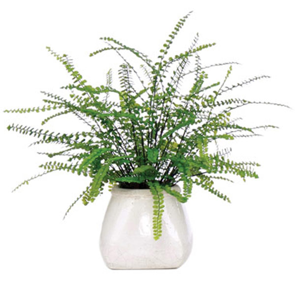 Button Fern in White Pot