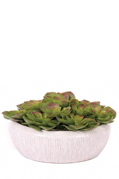 Small Echeveria in Shiny White Bowl