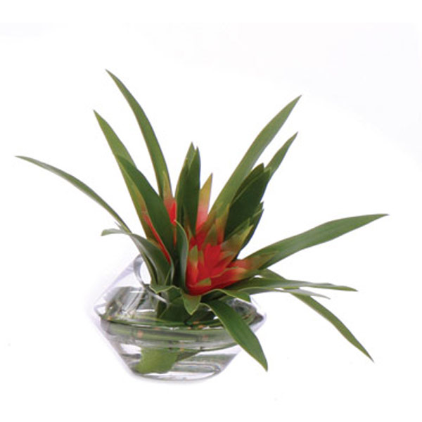 Small Bromeliad Waterlike