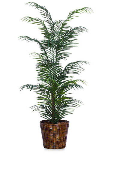 6' SKINNY ARECA PALM/BASKET