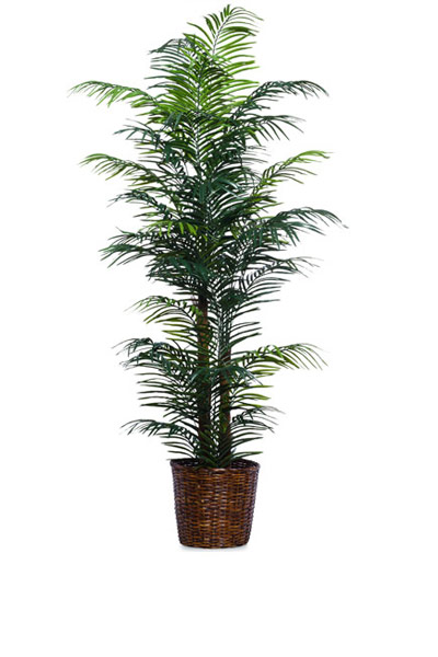 7' SKINNY ARECA PALM/BASKET