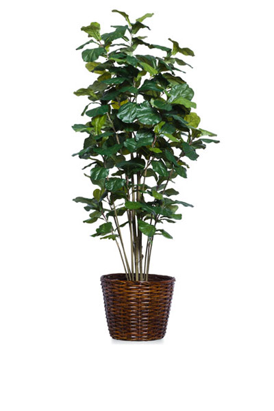 7' FIDDLE FIG BUSH/BASKET