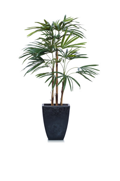 4' SKINNY LADY FINGER PALM IN BLACK SQUARE POT