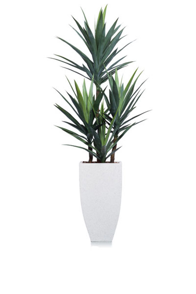 6' YUCCA IN WHITE SQUARE POT