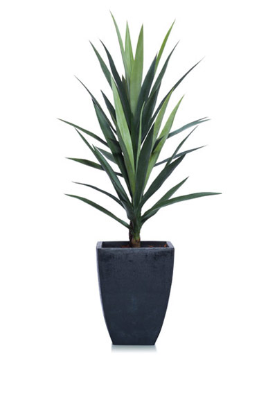 3.5' YUCCA IN BLACK SQUARE POT