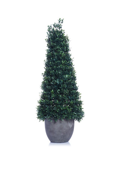 2' BOXWOOD CONE TOPIARY IN POT