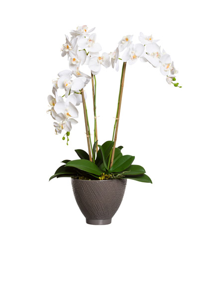 WHITE PHAL IN GREY POT